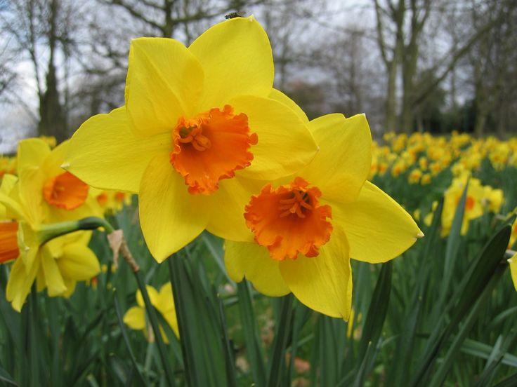 Daffodils Flowers Daffodil Flower Desktop Wallpaper Download ...