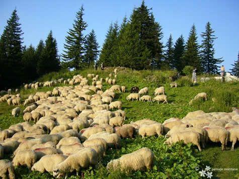 Lupta nervilor sau recreere ?:      Turma de oi   ...