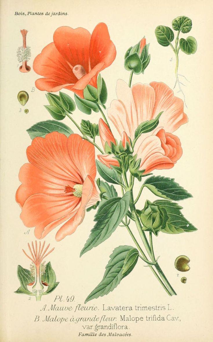 Img dessins plantes et fleurs jardins et appartements - Encyclopedie des fleurs et plantes de jardin ...