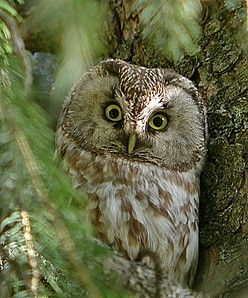 If we are fortunate, we will see something unexpected like this Tengmalms (or Boreal) Owl that we saw on our 2006 tour (Dave Farrow)