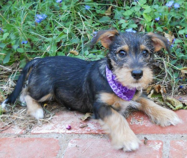daschund and Miniature Schnauzer mix puppy