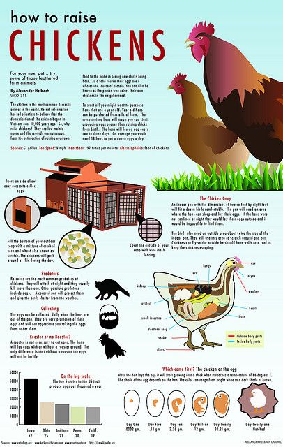 How to Raise Chickens graphic | Flickr - Photo Sharing! @Michael Dussert Dussert Dussert Rooney  lol