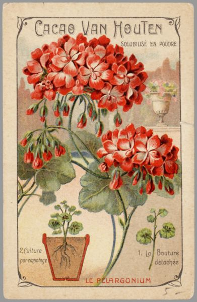 Geranium botanical image by Cacao Van Houten   Whoever did the artwork is a wonderful artist!