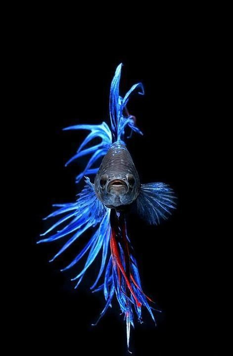 ACEO Open Ed Art Print of Zentangle Betta Beta Siamese Fighting Fish  #KarenAnneBrady