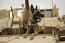 A United States Air Force Belgian Malinois on a M2A3 Bradley Fighting Vehicle before heading out on a mission in Kahn Bani Sahd, Iraq, Feb. 13, 2007.