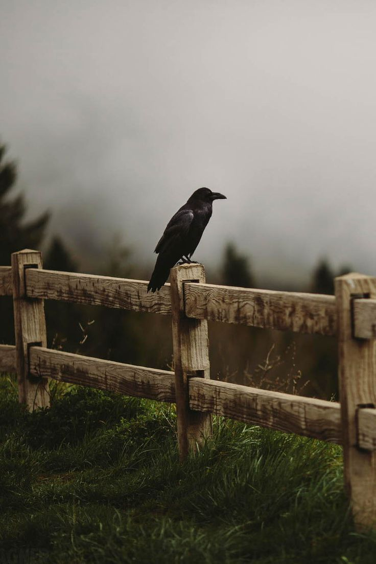 Jan's Page of Awesomeness! >. - ponderation:   Common Raven by Andrew Wagner