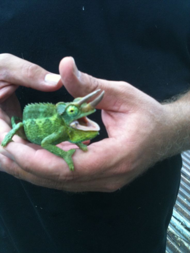 jackson lizards are common in hawaii and harmless. so cute!