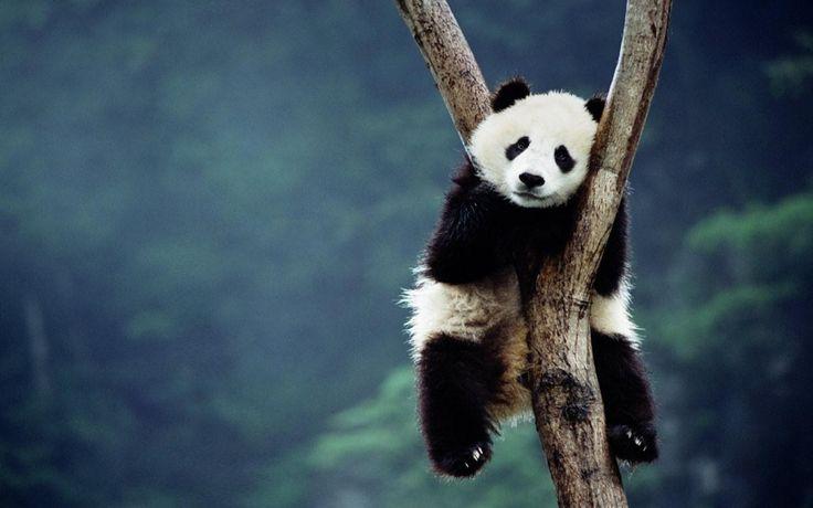 Baby Panda HD PC Wallpapers