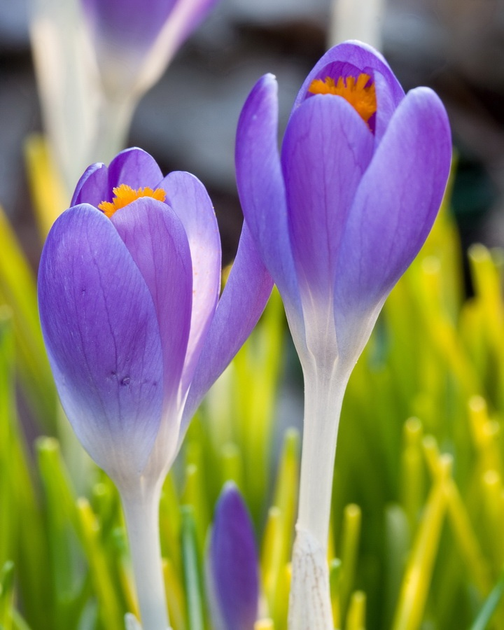 Crocus: Happy Spring, Violets Flowers, Artsy Photo, Photography Art Etc, Весна Spring, Flowers Plants Gardens, Flowers Photo, Books Photo, Flowers Natural