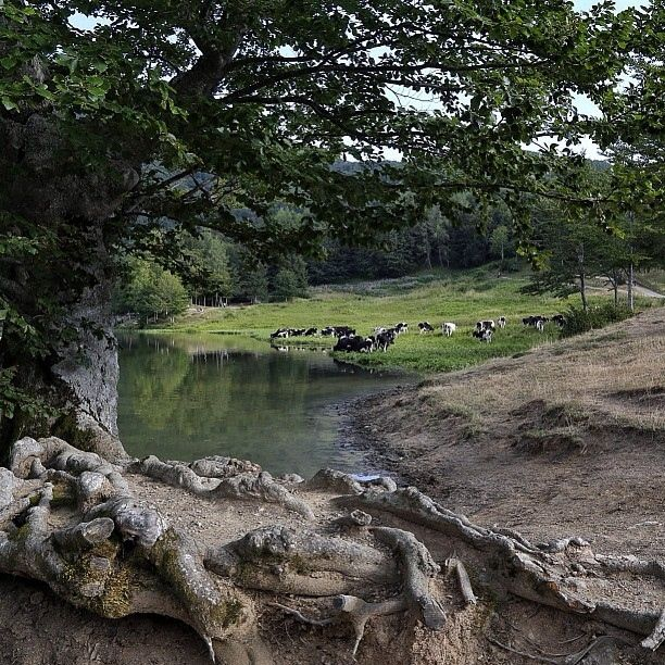 Mucche al lago Ventasso