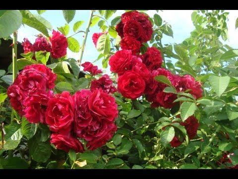 Как размножить вьющуюся плетистую розу черенками - YouTube