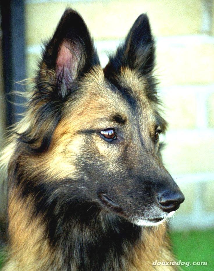 Pin By Dog Lover On Belgian Shepherd Belgian Tervuren Dogs