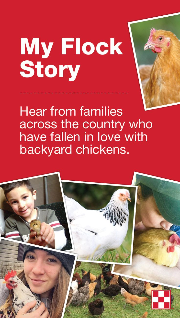 16 best my flock story images on pinterest chicken feed keeping
