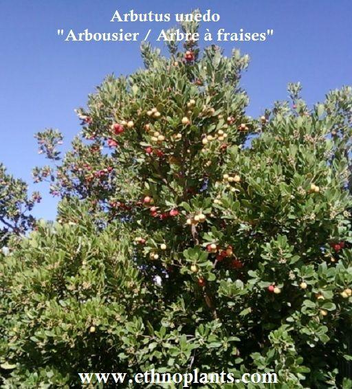 arbousier, graines d'arbre aux fraises à cultiver sous climat doux: #arbouse #arbousier https://www.ethnoplants.com/fr/graines-plantes-a-fruits-fruitiers/267-arbutus-unedo-arbousier-arbre-fraise-graines.html
