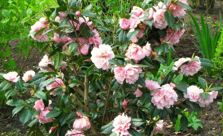 Pflanzideen mit Kamelien -  Zusammen mit den ersten Zwiebelblumen läutet die Kamelie das Ende des Winters ein: Zwei Pflanzbeispiele für einen rosa-roten Vorgarten oder einen Vorfrühling im Terrassenbeet.