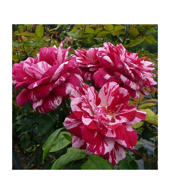 Les 25 meilleures id es de la cat gorie rosier buisson sur pinterest fleurs hybrides fleur et - Taille rosier buisson ...