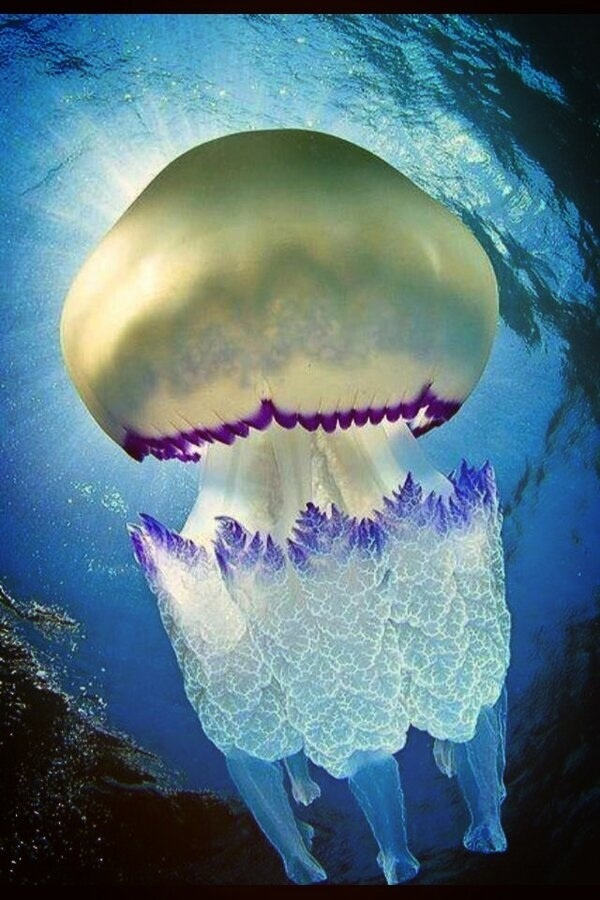 Medusa Rhizostoma Plumo