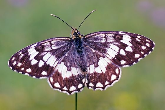 VISIT GREECE| Balkan marbled white  The wildlife of Greece #wildlife #Greece #nature #greengreece