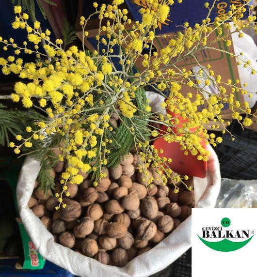 Balkanfidan.com Walnut saplings fidancılık meyvecilik kocaeli Türkiye