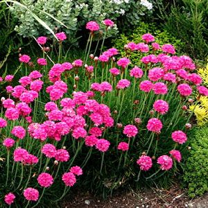plantfinder.sunset.com - Armeria maritima  - Common Thrift  I like this for between the sidewalk and retaining wall, with crushed granite.