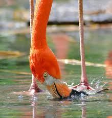 We know that Flamingos filter-feed on brine shrimp and blue-green algae.    In fact, their beaks are specially adapted to separate mud and silt from the food they eat, and are uniquely used upside-down.