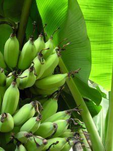 Bananier : culture et conseils d'entretien
