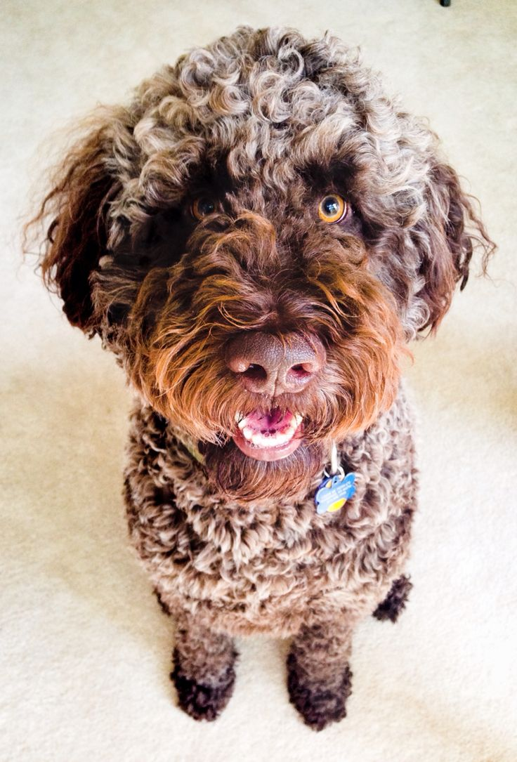Top 25+ best Chocolate goldendoodle ideas on Pinterest ...