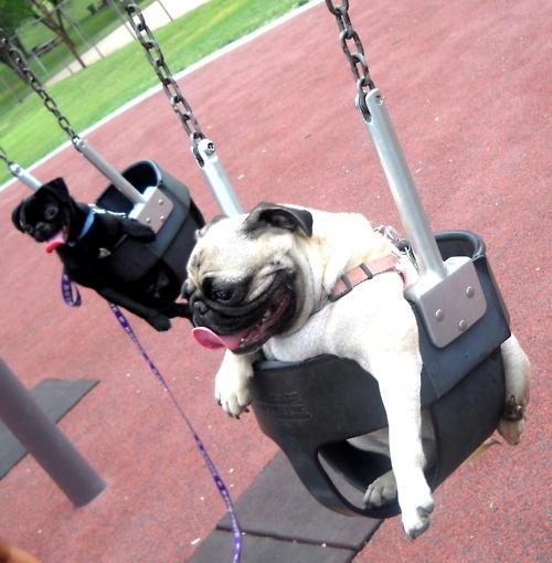 Swing pugs.: Puggi