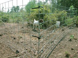 An example of a movable goat pen made from 16-foot x 4-foot cattle panels joined in the corners with rubber tarp straps. When brush is cleared to this extent, it is time to move the pen to a new location.