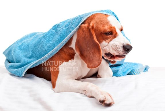Zwingerhusten ist für Hund und Herrchen schrecklich unangenehm und kann wochenlang dauern. Zwingerhusten äußert sich beim Hund durch Husten, Rotzen, Würgen und Erbrechen. Es handelt sich um eine ansteckende Infektion der oberen Atemwege bei Hunden. Vor allen die Luftröhre (Trachea) und die Bronchien des Hundes sind betroffen. #Zwingerhusten ist auf andere Hunde ansteckend, daher gilt oberstes Kontaktverbot, wenn Ihr Hund an Zwingerhusten erkrankt ist.
