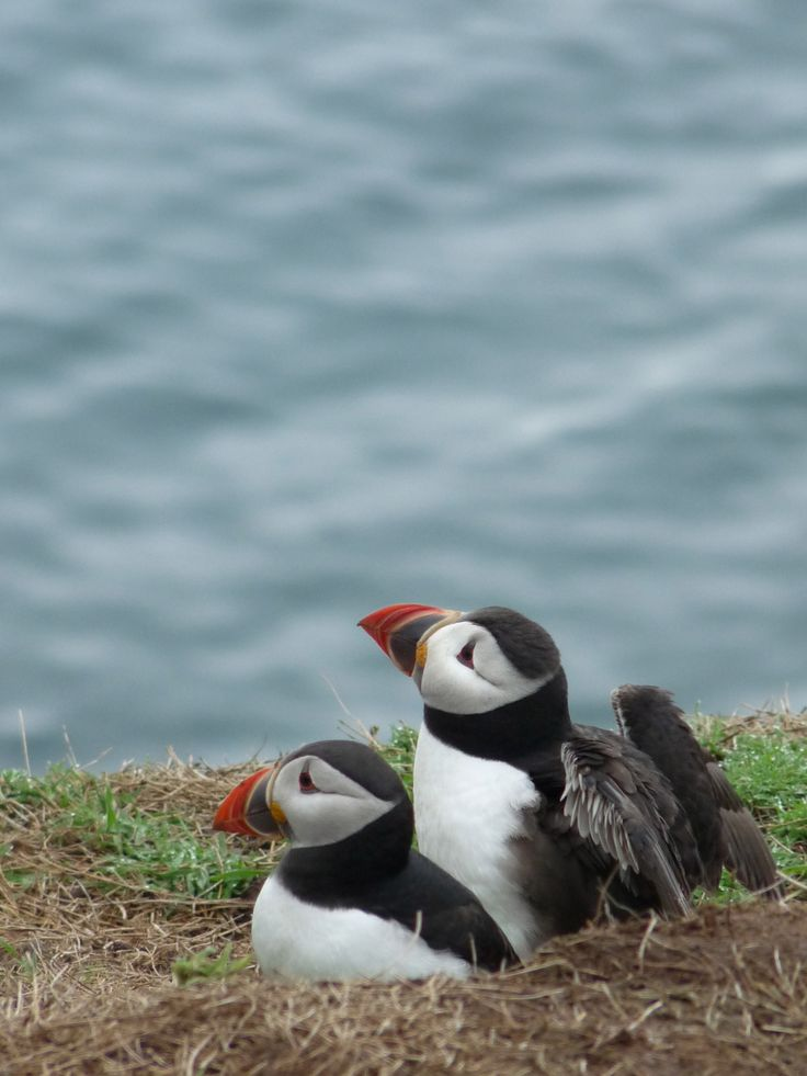 Just one more puffin shot