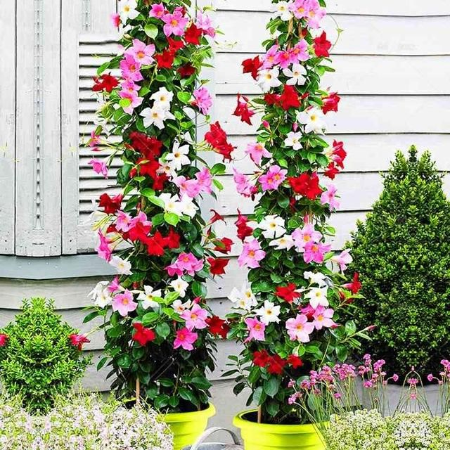 how to care for a mandevilla plant indoors