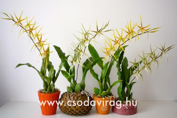 Brassia (Pókorchidea) - My clay flower https://www.facebook.com/Csodavirag