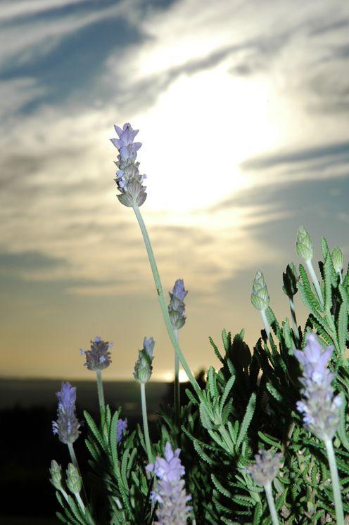 Lavender in Sunset
