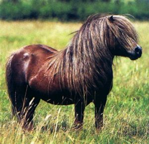 The Shetland pony is a breed of pony originating in the Shetland Isles. Shetlands range in size from a minimum height of approximately 28 inches to an official maximum height of 42 inches at the withers. A strong breed that grows a double coat as protection in Winter.
