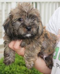 TREVOR  Yorkshire Terrier Yorkie/Shih Tzu Mix: An adoptable dog in Huntley, IL