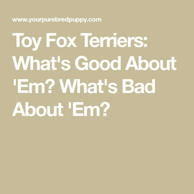 Toy Fox Terriers: What's Good About 'Em? What's Bad About 'Em?