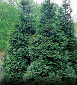 Windbreak tree:  Green Giant Arborvitae (Thuja standishii x plicata 'Green Giant')    Fast Growing Evergreen Tree, up to 3' per year.  Great Screen, Hedge, or Windbreak.  Plant 5' to 6' apart.  Grows 50' to 60' high with 12' to 20' spread.  Zones 5 to 7.