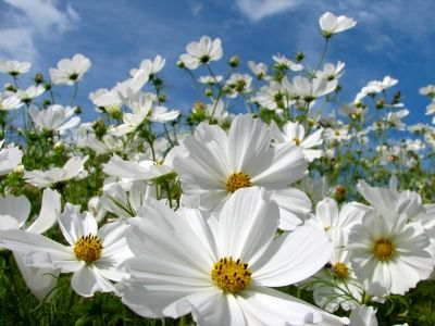 Cosmos Seeds For Sale   Buy Bulk Cosmos Flower Seeds Online At Eden Brothers Seed