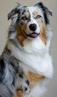 the colors are so beautiful #australianshepherd