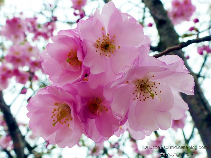 17 meilleures id es propos de fleurs de cerisier - Dessin fleur de cerisier ...