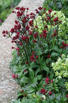 Buy masterwort Astrantia 'Hadspen Blood': Delivery by Crocus