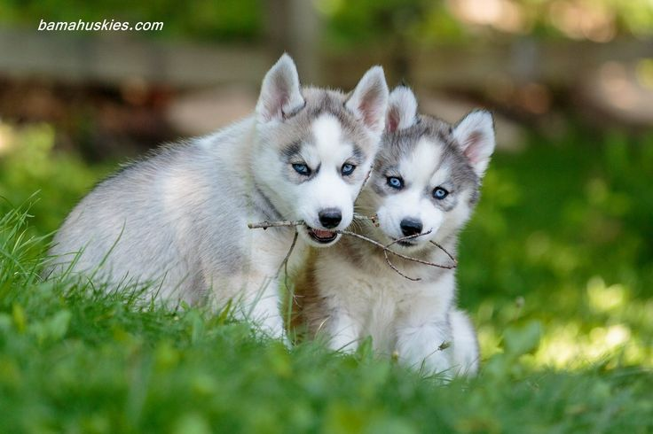 Customer Reviews – Siberian Husky Puppies For Sale