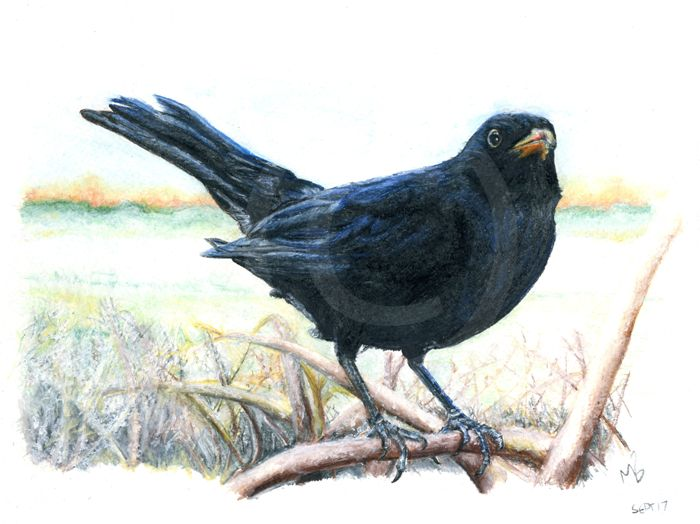 Blackbird on a frosty morning, watercolour pencil drawing, British Garden Birds - A blackbird on a frosty morning. Hand-drawn as part of my British Garden Birds collection, I created this artwork using watercolour pencils. This drawing was created on watercolour paper using Derwent watercolour pencils.