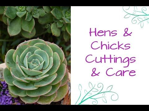 Hens And Chicks, The Succulent That Keeps On Giving                                                                                                                                                                                 More