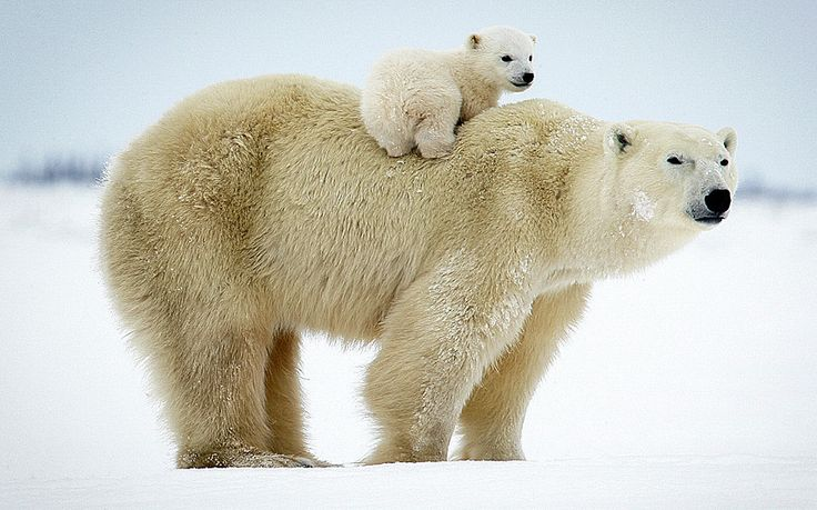 Mom's hauling her little one through the Wapusk National Park, Canada by photographer David Jenkins. From Arne as seen on The Telly.