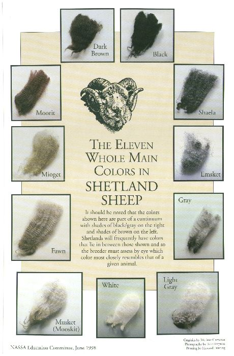 Shetland sheep colors <3 - This is the first sheep I met that I ever wanted to have for my own. Maybe someday.