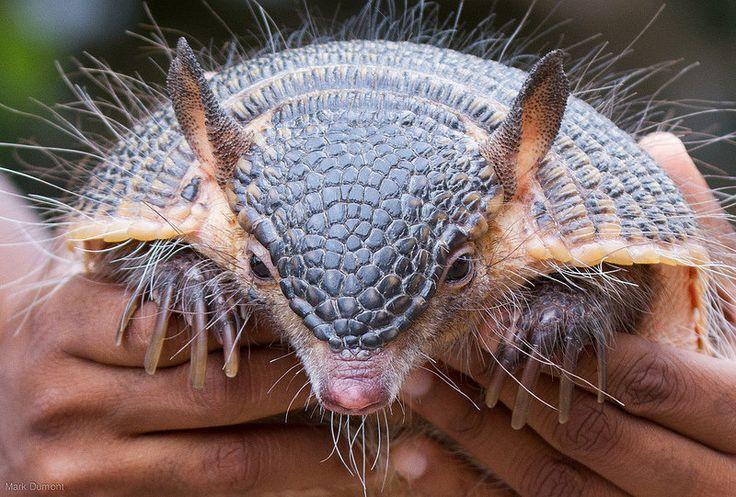 Armadillo armadillo cute animals wild creatures