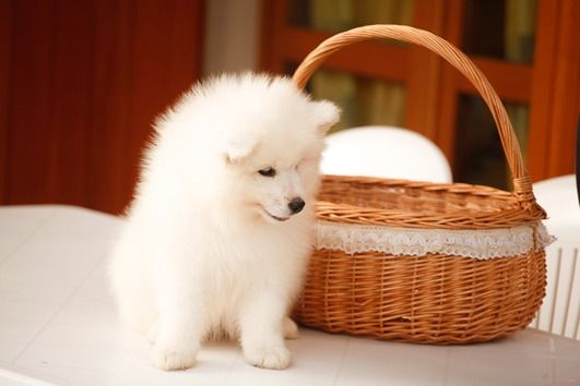 Samoyed For Sale - Hoobly Classifieds