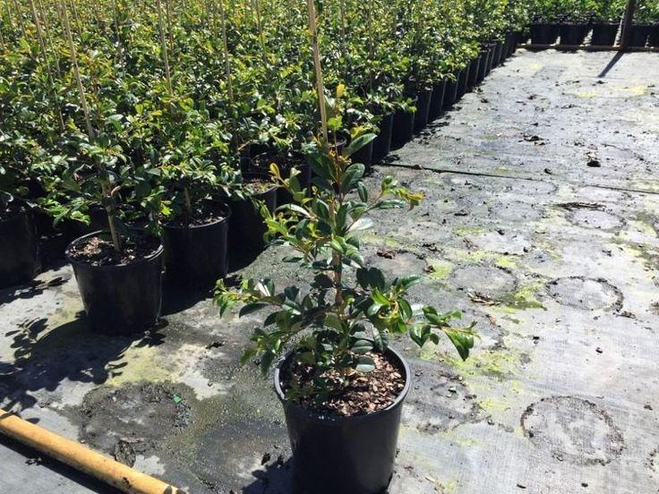 Lilly Pilly Hedge Plants Plants Pots Gumtree Australia Logan Area Eagleby 1059287733 Plants Home Landscaping Gumtree Australia